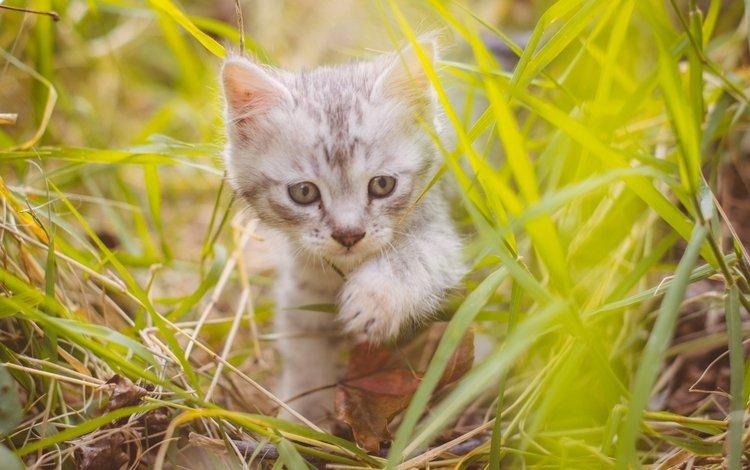 трава, кот, мордочка, усы, кошка, взгляд, котенок, милый, grass, cat, muzzle, mustache, look, kitty, cute