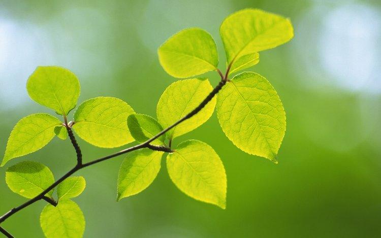 ветка, природа, листья, макро, размытость, branch, nature, leaves, macro, blur