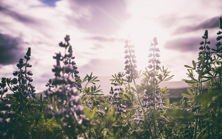цветы, листья, поле, стебли, солнечный свет, шалфей, flowers, leaves, field, stems, sunlight, sage