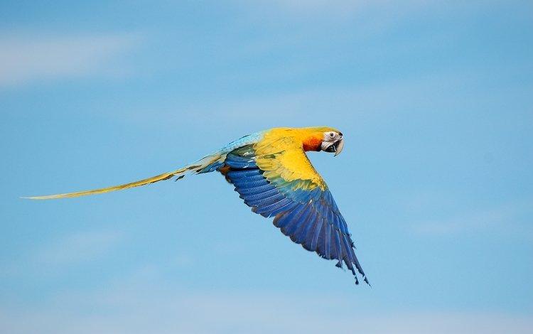 небо, полет, птица, попугай, ара, the sky, flight, bird, parrot, ara