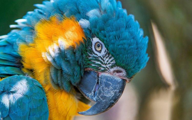 bird, parrot, ara