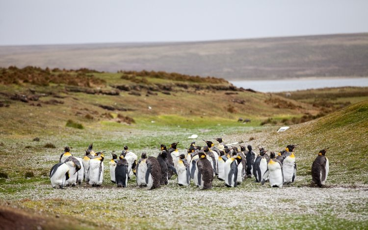 трава, берег, птицы, стая, пингвины, grass, shore, birds, pack, penguins