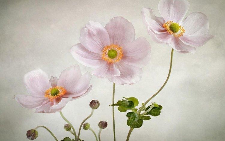 цветы, фон, розовые, анемоны, flowers, background, pink, anemones