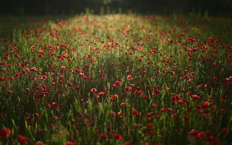цветы, поле, красные, маки, flowers, field, red, maki
