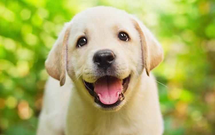 глаза, лабрадор, зелень, боке, фон, ретривер, мордочка, взгляд, собака, щенок, язык, eyes, labrador, greens, bokeh, background, retriever, muzzle, look, dog, puppy, language