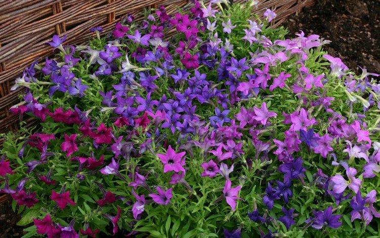 цветы, много, петунья, flowers, a lot, petunia