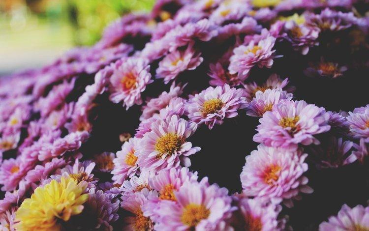 цветы, лепестки, хризантемы, flowers, petals, chrysanthemum