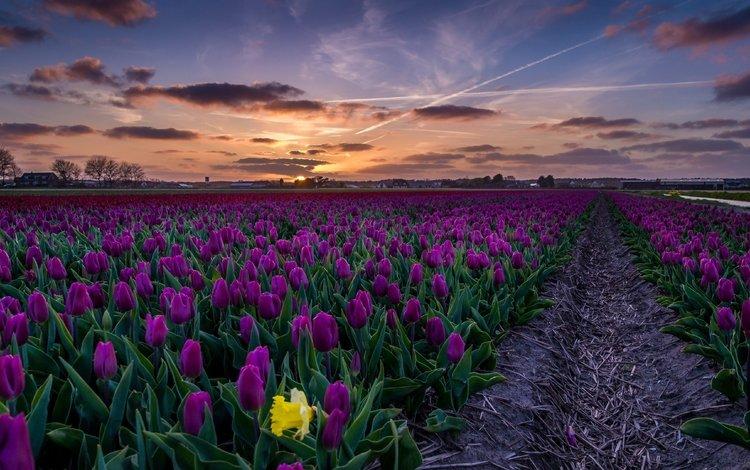 небо, цветы, закат, пейзаж, поле, тюльпаны, the sky, flowers, sunset, landscape, field, tulips