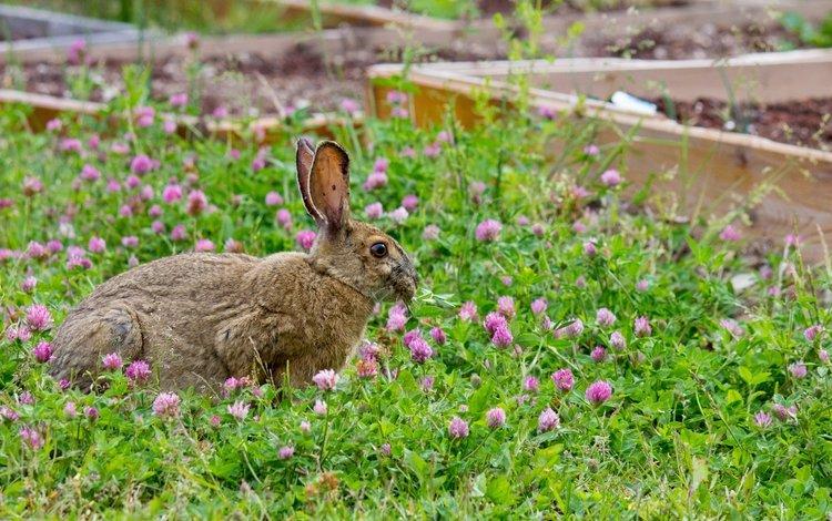 grass, clover, walk, rabbit, hare
