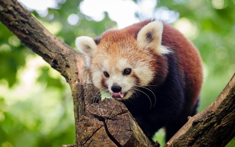 дерево, мордочка, взгляд, панда, язык, красная панда, малая панда, tree, muzzle, look, panda, language, red panda