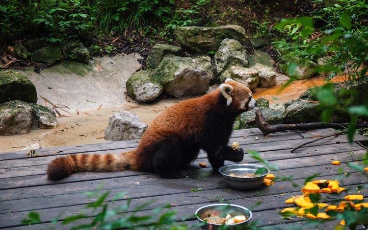 food, panda, tail, red panda, zoo