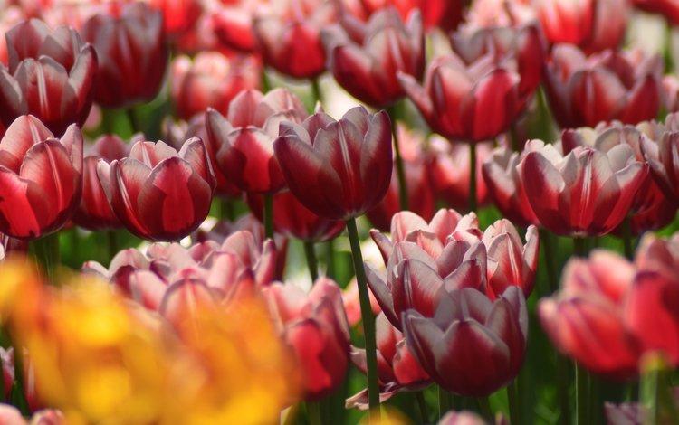 цветы, лепестки, весна, тюльпаны, крупным планом, flowers, petals, spring, tulips, closeup