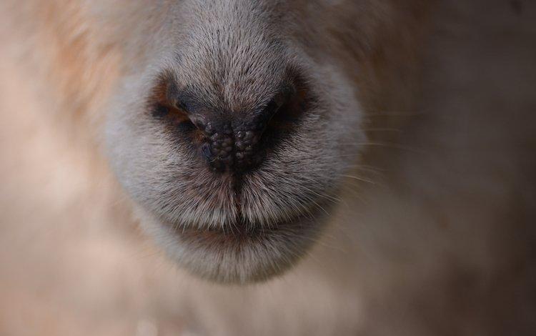 wool, nose, sheep