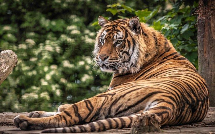 тигр, морда, взгляд, хищник, дикая кошка, лежа, tiger, face, look, predator, wild cat, lying