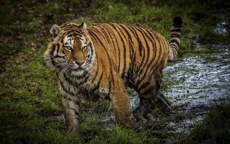 тигр, грязь, хищник, большая кошка, tiger, dirt, predator, big cat