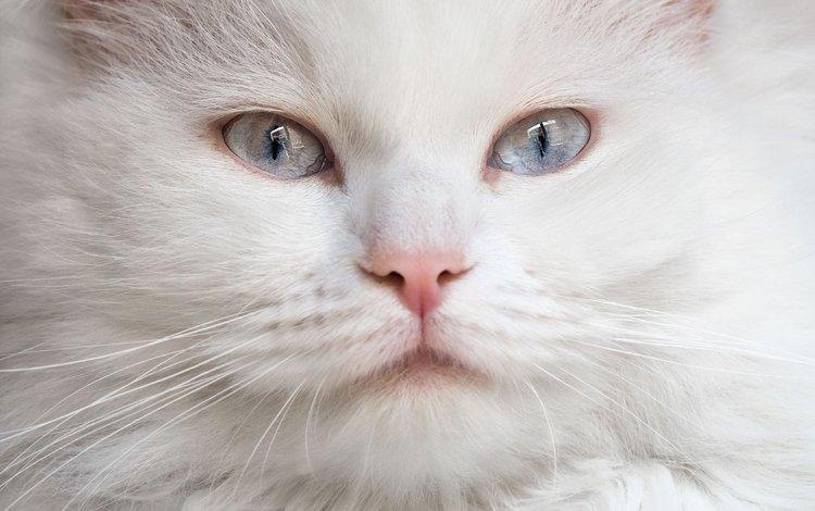 мордочка, кошка, взгляд, голубые глаза, белая, пушистая, muzzle, cat, look, blue eyes, white, fluffy