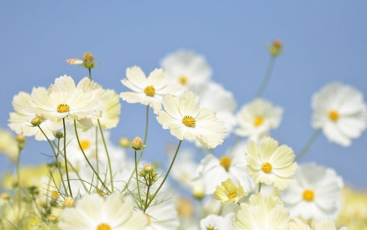 небо, цветы, бутоны, лепестки, белые, крупный план, космея, the sky, flowers, buds, petals, white, close-up, kosmeya