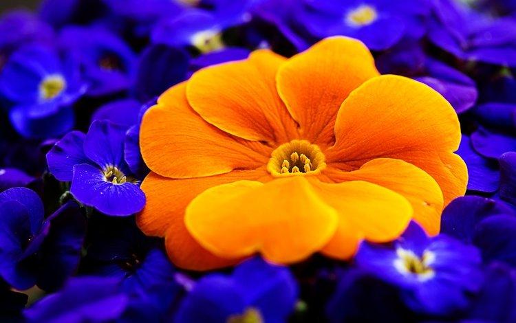 цветы, макро, лепестки, первоцвет, примула, flowers, macro, petals, primrose, primula