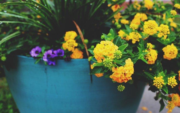 цветы, желтые, горшок, flowers, yellow, pot