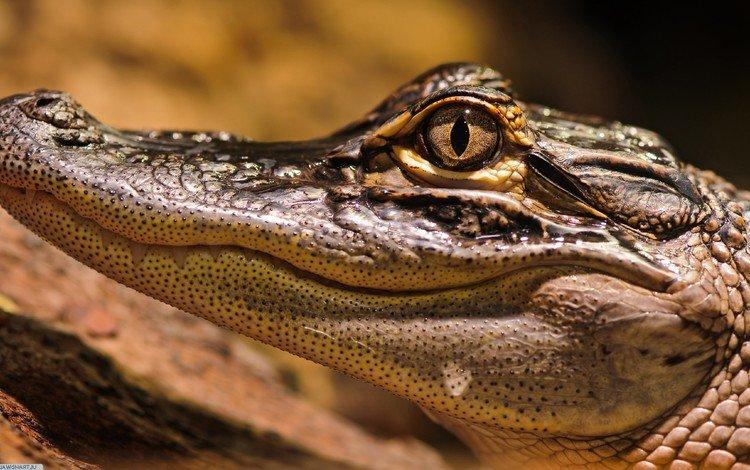 eyes, crocodile, mouth, head