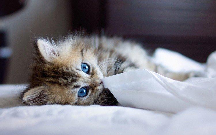 кошка, взгляд, котенок, голубые глаза, cat, look, kitty, blue eyes