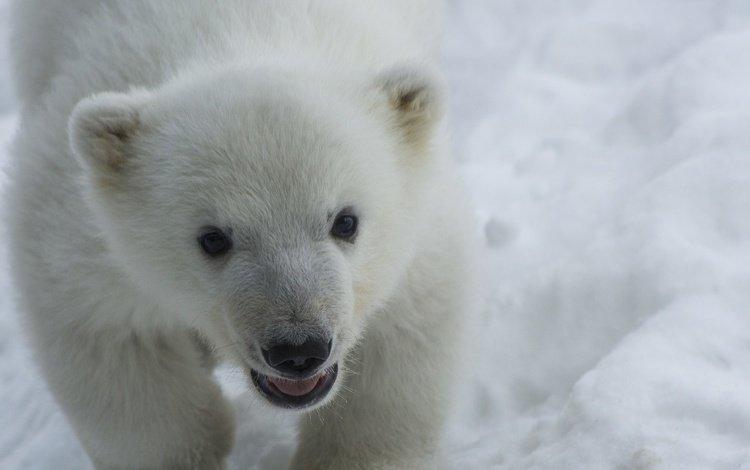 снег, взгляд, медведь, хищник, белый медведь, детеныш, медвежонок, snow, look, bear, predator, polar bear, cub