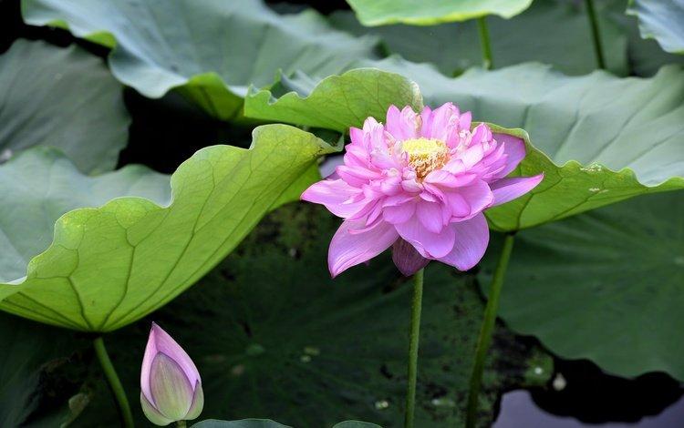 flowering, flower, petals, lotus