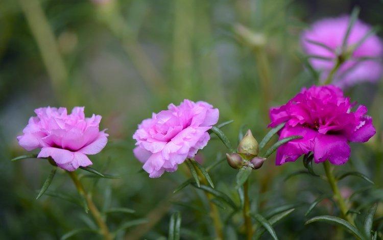 flowering, leaves, petals, bud, purslane