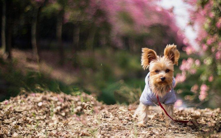 цветение, собака, рыжая, щенок, одежда, собачка, йорк, йоркширский терьер, flowering, dog, red, puppy, clothing, york, yorkshire terrier