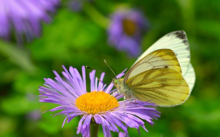 insect, flower, butterfly, wings, butterfly macro