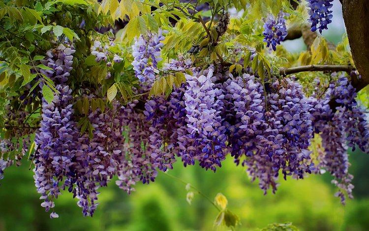 цветы, дерево, листья, ветки, соцветия, глициния, вистерия, flowers, tree, leaves, branches, inflorescence, wisteria