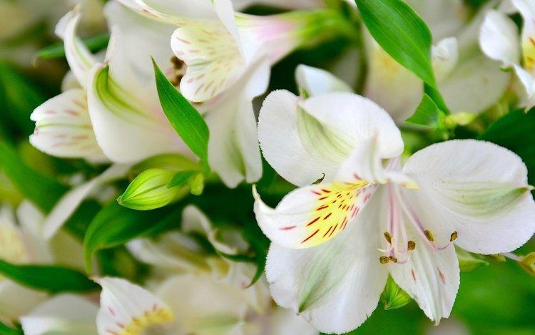 цветы, лепестки, лилии, flowers, petals, lily