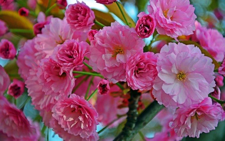цветы, ветка, листья, flowers, branch, leaves