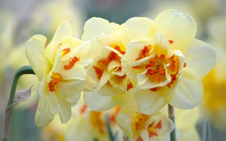 flowers, flowering, flower, narcissus