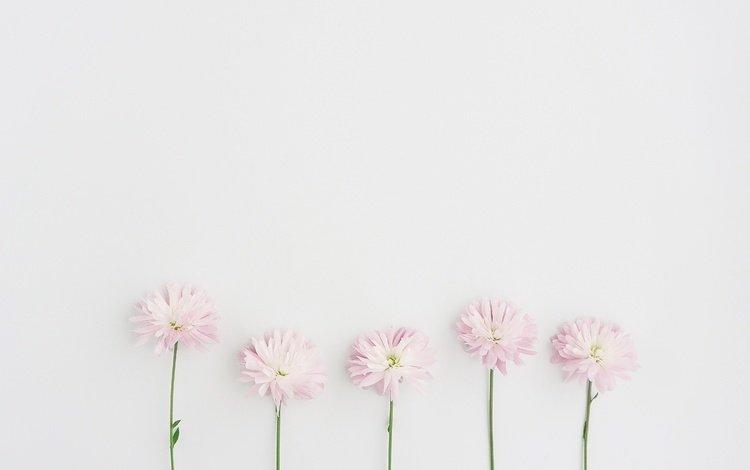 цветы, фон, лепестки, маргаритки, flowers, background, petals, daisy