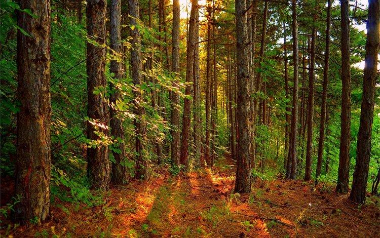 деревья, лес, пейзаж, лучи солнца, trees, forest, landscape, the rays of the sun