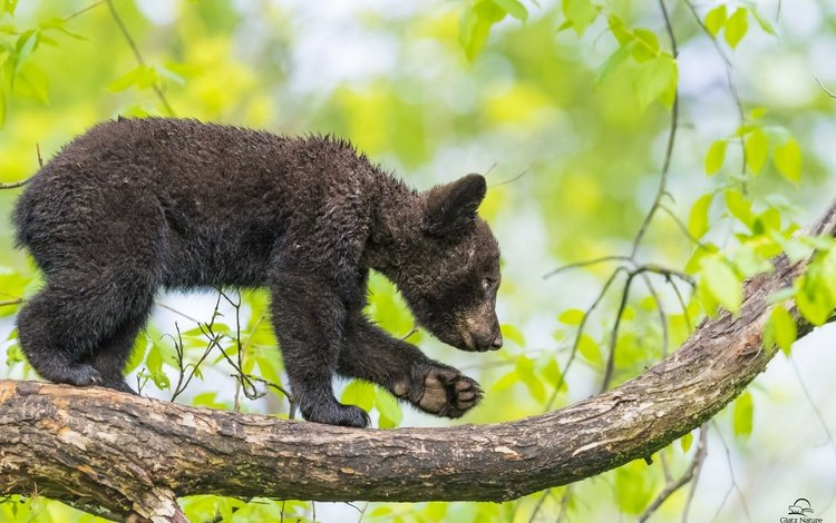 nature, tree, leaves, branches, bear, predator, animal, baby, cub