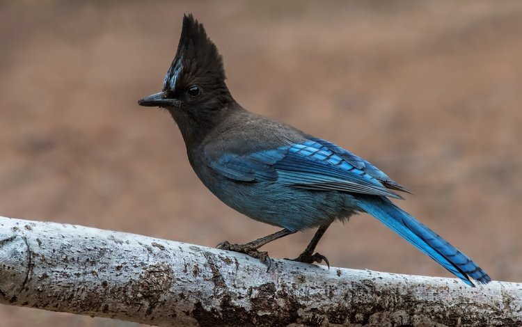 tree, bird, jay, blue jay, blackhead blue jay