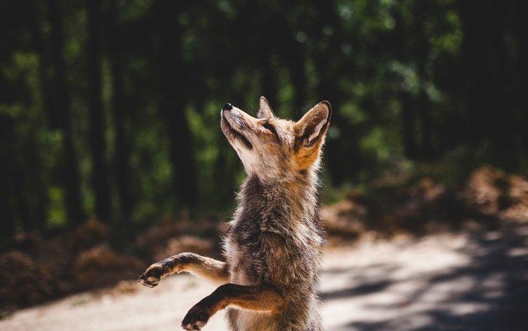 paws, fox, predator, profile, is