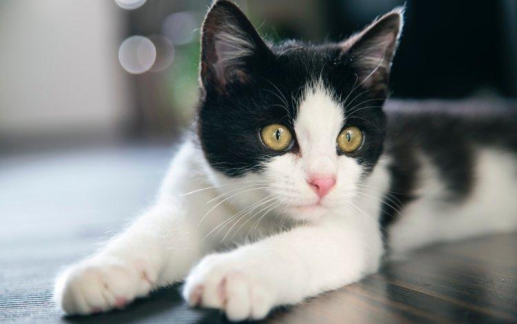 мордочка, усы, кошка, взгляд, котенок, боке, лежа, желтые глаза, muzzle, mustache, cat, look, kitty, bokeh, lying, yellow eyes