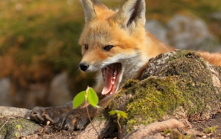 red, fox, predator, moss, language, mouth, yawn