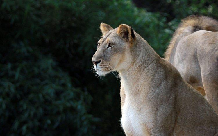 eyes, look, profile, leo, predators, lioness