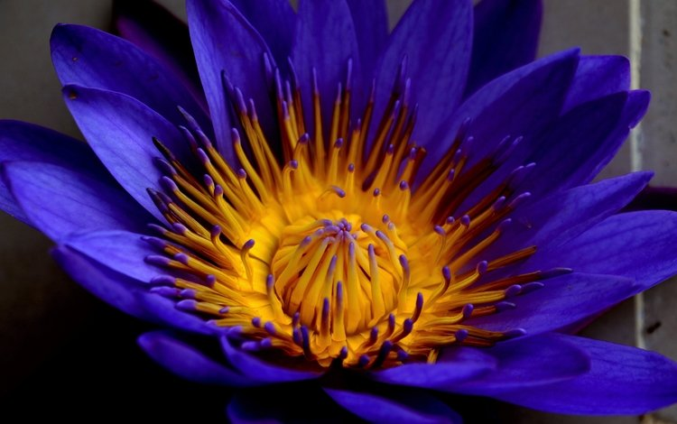 макро, цветок, лепестки, водяная лилия, macro, flower, petals, water lily
