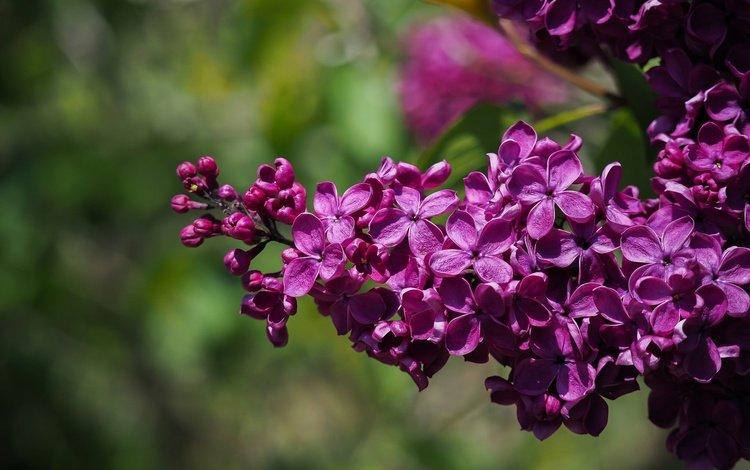 макро, весна, сирень, macro, spring, lilac