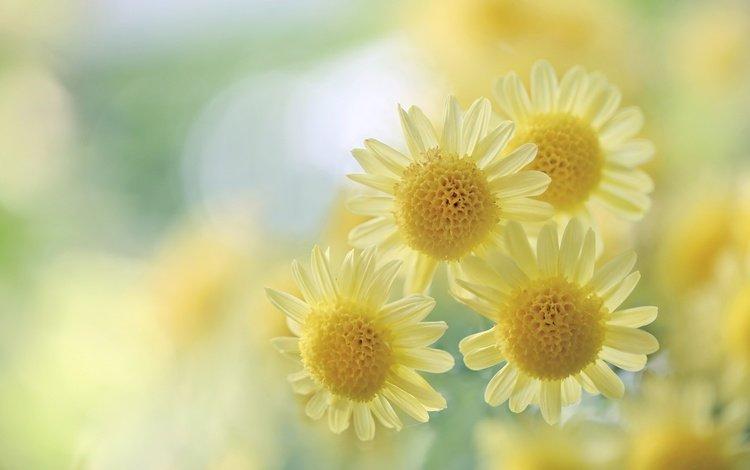 flowers, macro, blur, yellow, chrysanthemum, bokeh