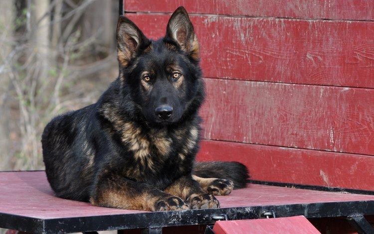 muzzle, look, dog, german shepherd, shepherd