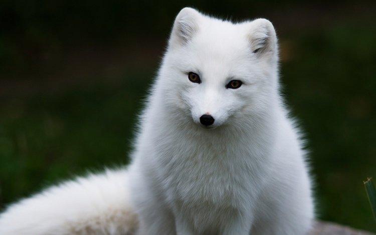 fox, arctic fox