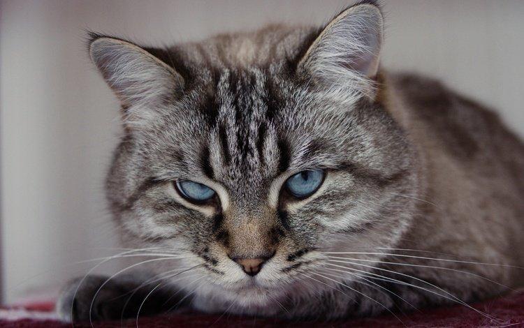 портрет, кошка, взгляд, portrait, cat, look