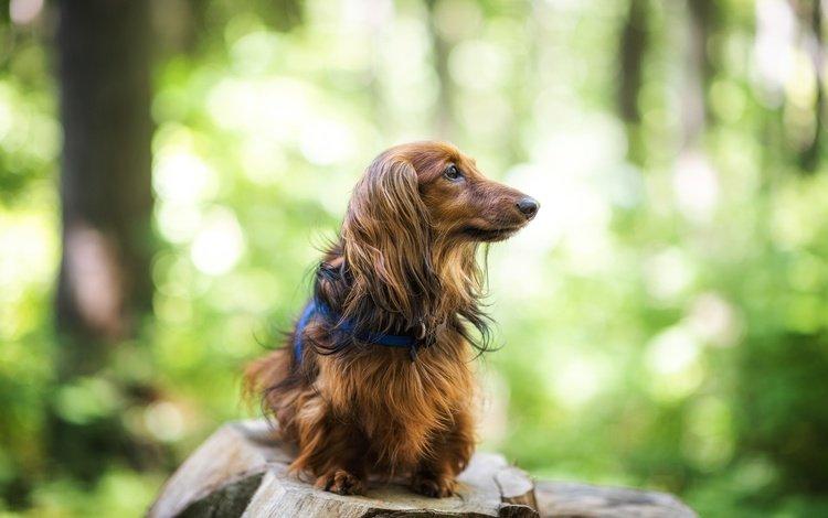 собака, друг, такса, длинношерстная, dog, each, dachshund, longhair