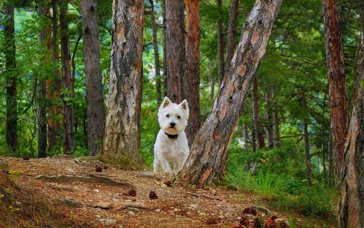 собака, вест-хайленд-уайт-терьер, dog, the west highland white terrier